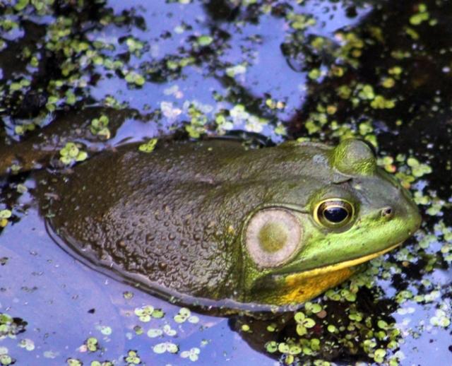 bullfrog copy