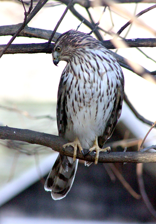 bsparrowhauk1 copy