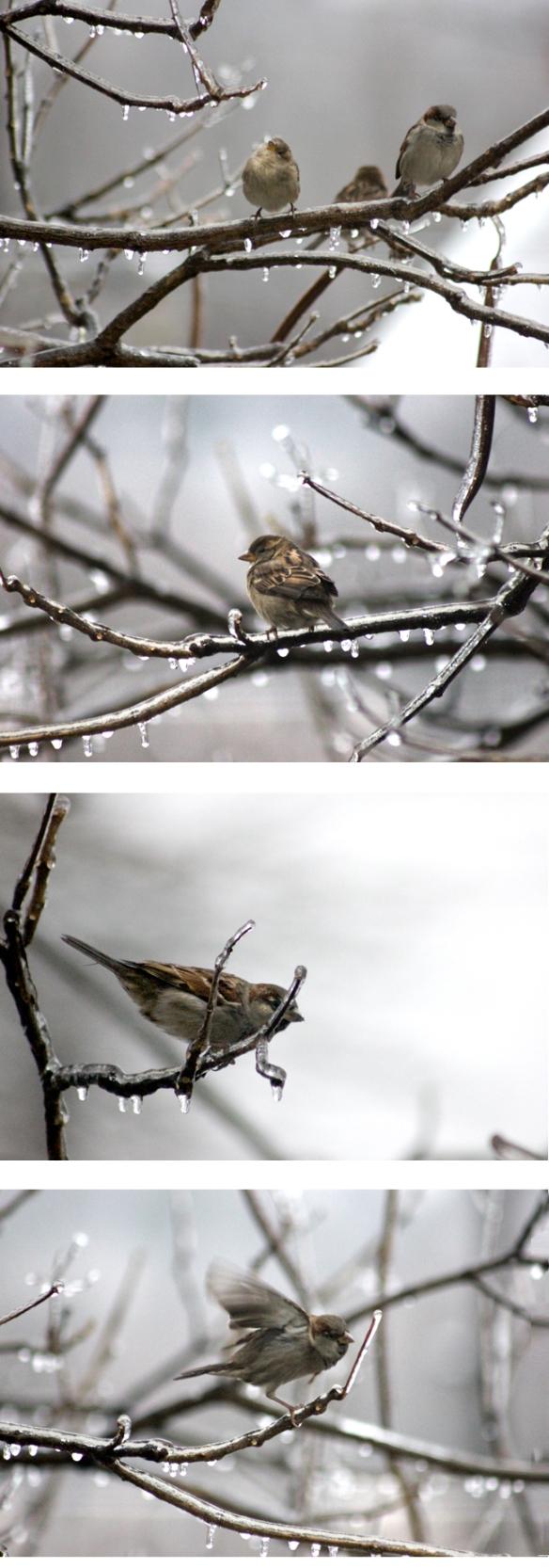 bicebirds