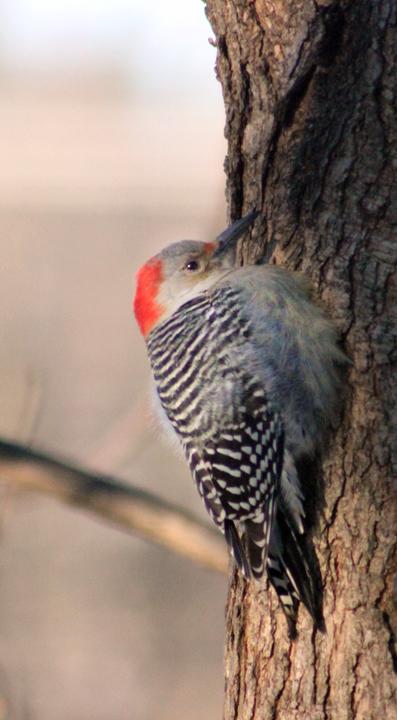 bwoodpecker copy 2
