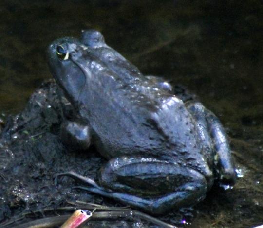 bfrog copy