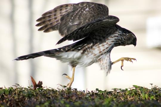 bsparrowhawk